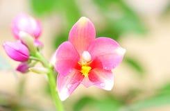 Rosa Spathoglottis växt Royaltyfri Bild