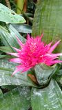Rosa spetsig kaktus Royaltyfria Foton