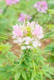 Rosa spindelblomma (Cleomehassleriana) i trädgården Arkivfoto