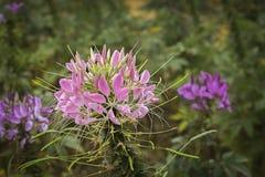 Rosa Spinnenblume - Cleome hassleriana im Garten lizenzfreie stockbilder