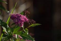 rosa Spiraea med svart backround Fotografering för Bildbyråer