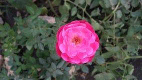 Rosa splendida di rosa Immagine Stock