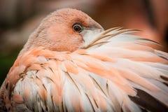 rosa stående för flamingo Arkivfoton