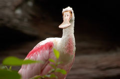 rosa ståendespoonbill för fågel Royaltyfri Foto