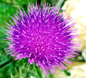 Rosa stachelige Weg-Distel-Blume Stockfotografie