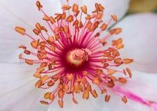 Rosa stamens Royaltyfria Bilder