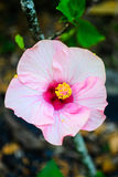 Rosa stamens för hibiskusblommaguling blommar beautifully arkivfoton