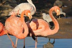 Rosa standing för flamingo två Royaltyfria Foton