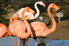 Rosa standing för flamingo två Arkivbild