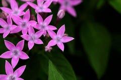 Rosa starflower royaltyfria foton