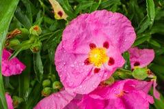 Rosa Stein-Rosen-Blumen Cistaceae, der in einem Park, Bereich San Jose, San Francisco Bay, nicht gebürtig zu Kalifornien blüht stockbilder