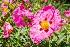 Rosa Stein-Rosen-Blumen Cistaceae, der in einem Park, San- Francisco Baybereich, nicht gebürtig zu Kalifornien blüht lizenzfreies stockfoto