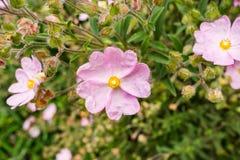 Rosa Stein-Rosen-Blumen Cistaceae, der in einem Park, San- Francisco Baybereich, nicht gebürtig zu Kalifornien blüht stockfotos