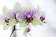Rosa Stellen der weißen Orchidee lizenzfreie stockbilder