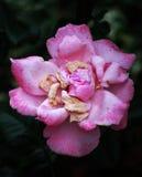 Rosa sterbende Rose Lizenzfreie Stockbilder