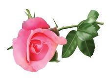 Rosa stieg Vektor Abbildung