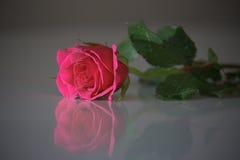 Rosa stieg Stockfotografie