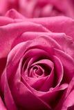 Rosa stieg. Stockbilder