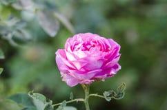 Rosa stieg 2 Stockbild