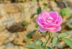 Rosa stieg Stockbild