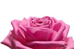 Rosa stieg auf das Weiß Stockfoto