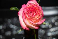 Rosa stieg auf schwarzen Hintergrund lizenzfreies stockbild