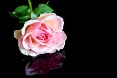 Rosa stieg auf Schwarzes Lizenzfreie Stockbilder