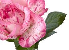 Rosa stieg auf Weiß Stockbilder
