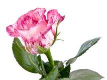 Rosa stieg auf Weiß Stockfotografie