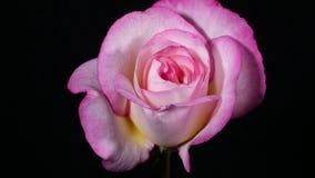 Rosa stieg, blühend am Frühling stock video footage