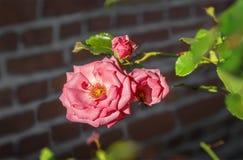 Rosa stieg in einen Garten Stockfotos
