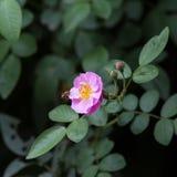 Rosa stieg in einen Garten Stockbilder