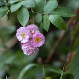 Rosa stieg in einen Garten Lizenzfreies Stockfoto