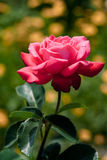 Rosa stieg in Garten stockbild