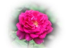 Rosa stieg gegen einen weißen Hintergrund stockbilder
