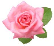 Rosa stieg mit Blättern Lizenzfreie Stockbilder