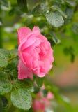 Rosa stieg mit Wassertropfen lizenzfreie stockfotos