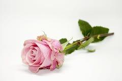 Rosa stieg Natur-Schönheit Lizenzfreies Stockbild