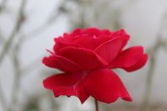 Rosa stieg nette Seitenansicht stockbilder