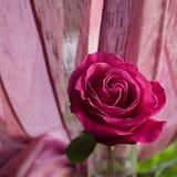 Rosa stieg in Tropfen schließen oben vom Regen auf einem quadratischen unscharfen Hintergrund Tulpen und Winde auf einem weißen H stockbild