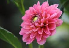 Rosa stor blomma royaltyfri foto