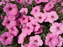 Rosa stor blommaräkning för petunia Royaltyfria Bilder