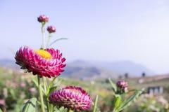 Rosa strawflowers oder Helichrysum- oder Gänseblümchenpapier mit blauem Himmel a Lizenzfreie Stockfotos