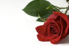 Rosa su bianco Fotografia Stock