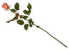 Rosa su bianco Fotografia Stock Libera da Diritti