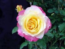Rosa su fondo scuro Fotografie Stock