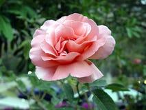 Rosa su fondo scuro Fotografia Stock Libera da Diritti