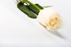 Rosa su priorità bassa bianca Fotografia Stock