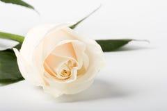 Rosa su priorità bassa bianca Fotografie Stock