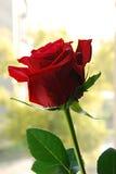 Rosa su una finestra. Fotografia Stock Libera da Diritti